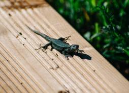 Green lizard joining us for breakfast