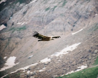 A pyreneen icon - Griffon Vulture